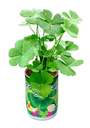 Lucky leaf clover in a can